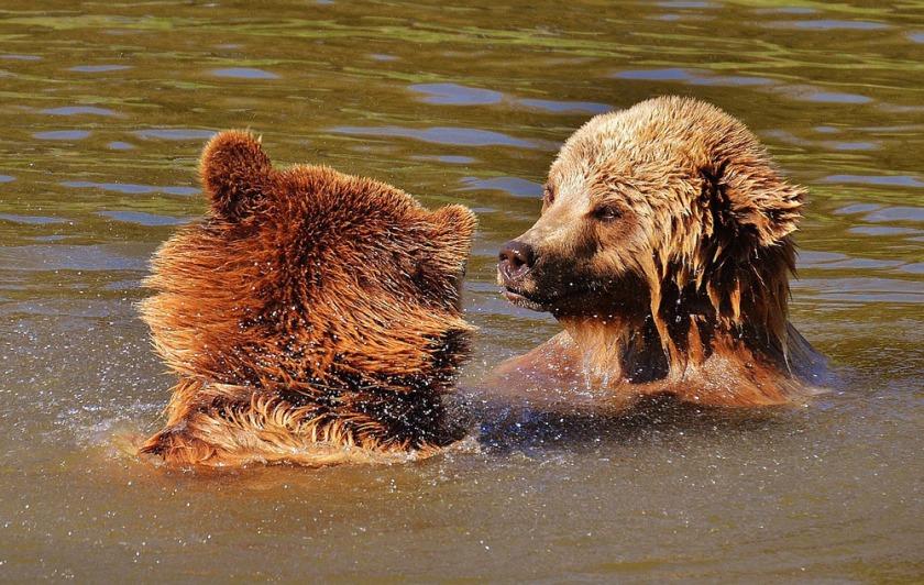 brown-bears-ro