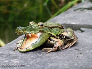 Alligator-Frog