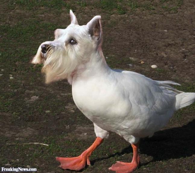 Scotty-Dog-Duck--89054