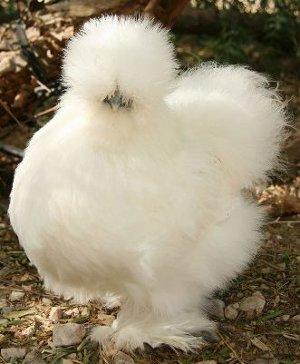 Silkie-Chicken