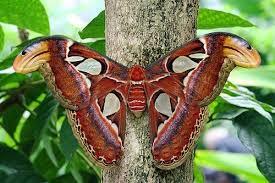 Cuál es la mariposa más grande del mundo