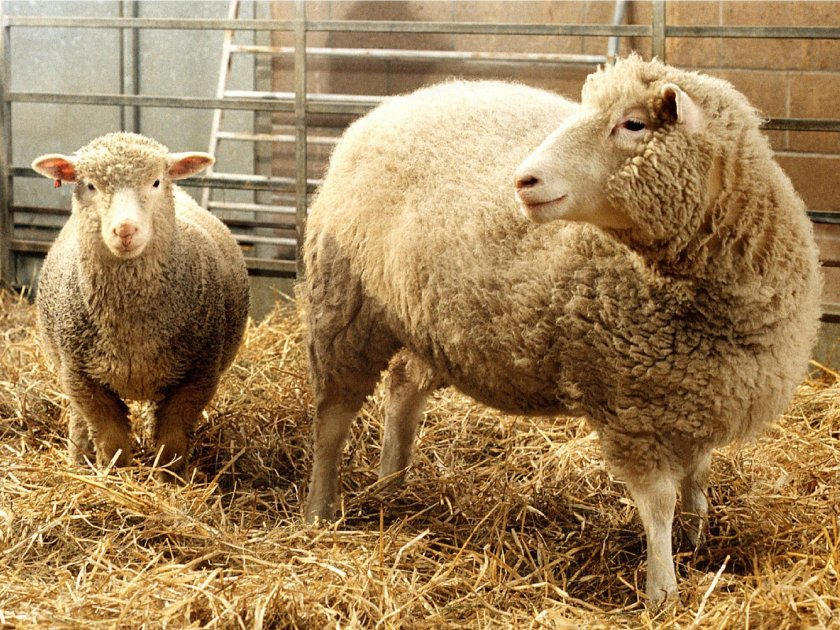 dolly-and-polly-genetic-sheep