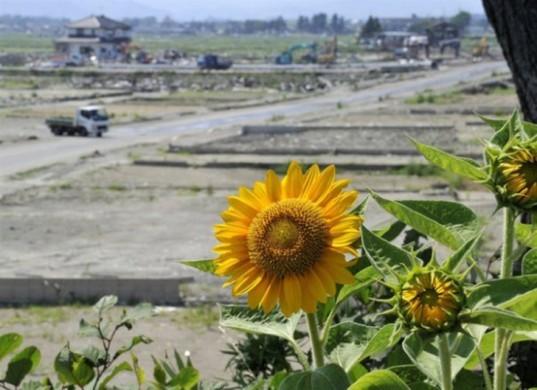 fukushima-sunflowers3-537x390