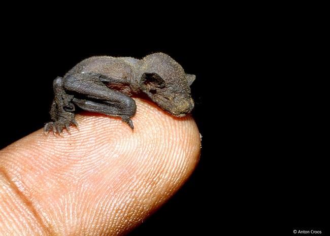 Kittis Hog-nosed Bat
