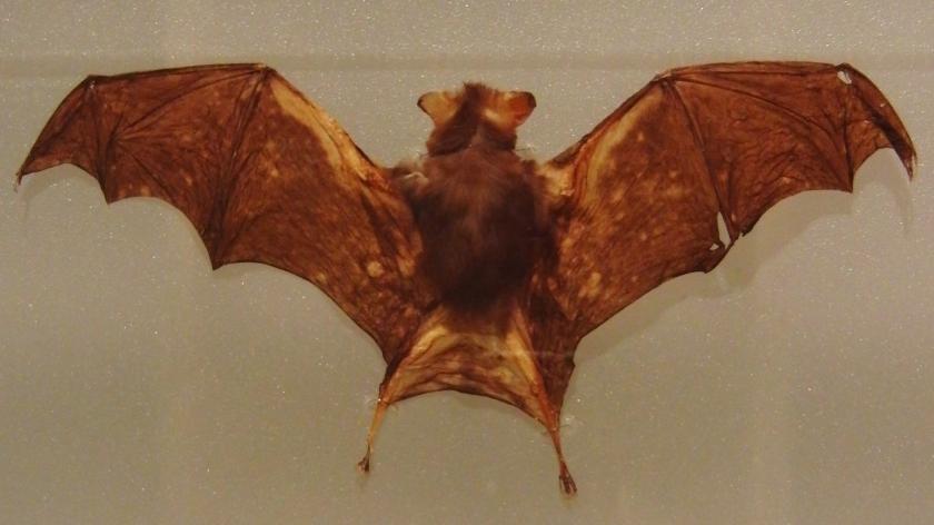 Kitti's_hog-nosed_bat_Stuffed_specimen