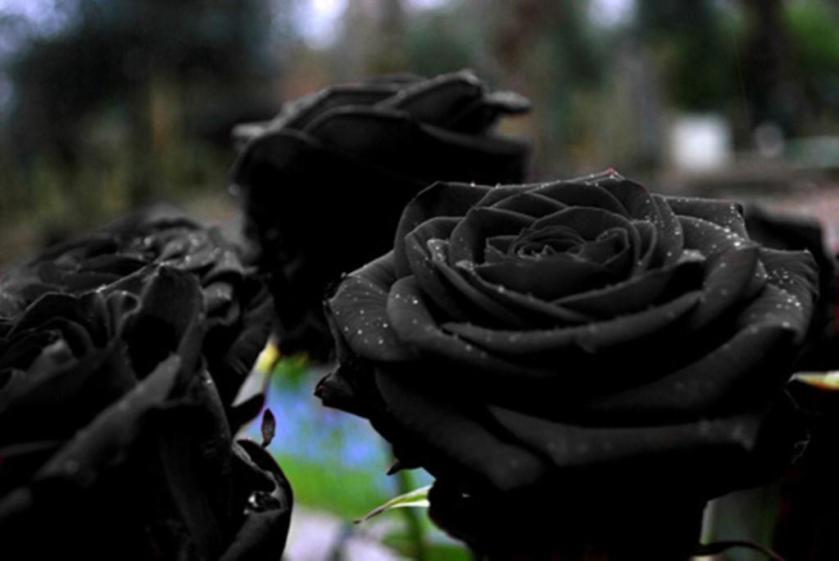 black-rose-3