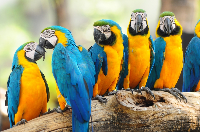 Papagal Macaw