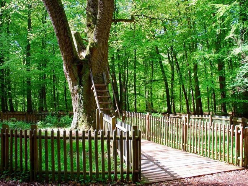 Stejarul cu adresa 3shat (5)