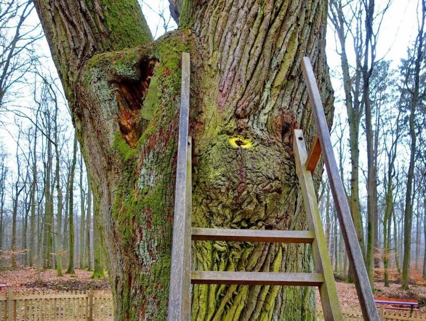 Stejarul cu adresa 3shat (6)