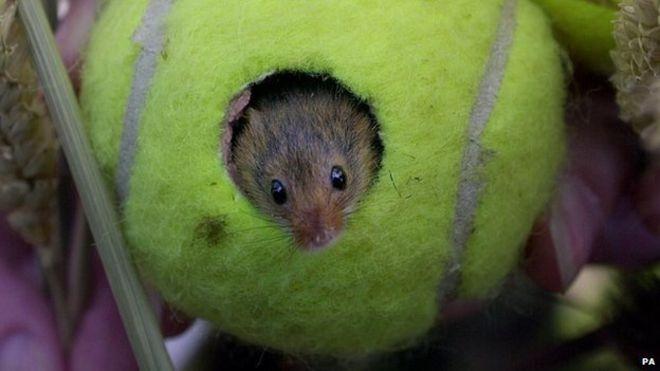 soricei in mingi de tenis (1)