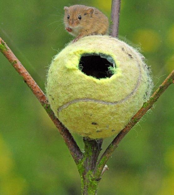 soricei in mingi de tenis (4)